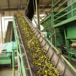 Stock Photo: Olive mill in action