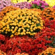 Colourful chrysanthemum - Foto Stock