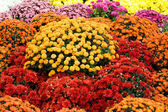 Colourful chrysanthemum — Stock Photo