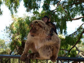 Barbary macaque — Stockfoto