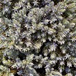 Stock Photo: Juniper Shrub