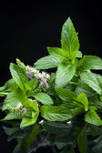Fresh mint leaves — Stock Photo