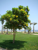 Beautiful blossoming tree (Sarm EL Sheikh, Egypt) — Stock Photo