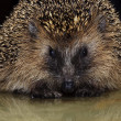 Hedgehog — Stock Photo #6910453