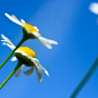 Tiny beautiful daisy isolated with blue sky — Stock Photo