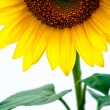 Sunflower and blue sky  — Stock Photo #6895736