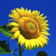 Sunflower and blue sky — Stock Photo #6895745