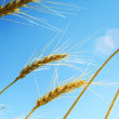 Ripe wheat in summer — Stock Photo #6895785