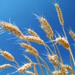 Ripe wheat in summer — Stock Photo #6895787