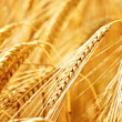 Ripe wheat in summer  — Stock Photo #6895971