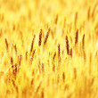 Ripe wheat field — Stock Photo #6895992