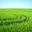 Green field and clear sky — Stock Photo