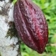 Pod of Arriba cacao in Ecuador - Foto Stock