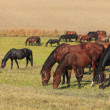 Herd of horses grazing — Stock Photo