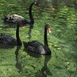 Group of black swans - Stock Photo