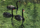 Group of black swans — Stock Photo
