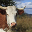Stock Photo: Portrait of a cow