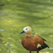 Ruddy Shelduck (Tadorna ferruginea) - 图库照片