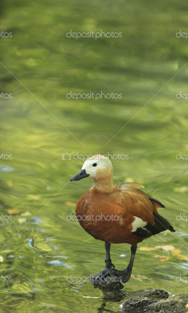 Ruddy Shelduck (Tadorna ferruginea) staying on a rock in a pond with green tree reflexions.  — Stock Photo #6908334