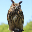 Owl — Stock Photo #7091804