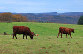 Brown cattles — Stock Photo