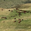 Stock Photo: Cattles