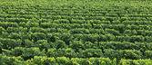 Vine texture — Stock Photo