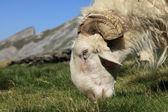 Ram grazing — Stock Photo