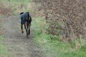 Black dog walking — Stockfoto