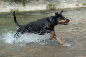 Doberman qui traverse l'eau — Photo