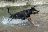 Doberman corriendo por el agua — Foto de Stock