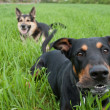 Barking doberman — Stock Photo