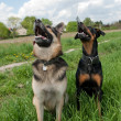 Tow dogs training outside - Stock Photo