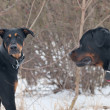 A doberman playing with a rottweiler — Stockfoto