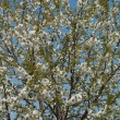 Blooming apricot tree - Stock Photo