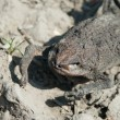 Dried out toad - Stock Photo