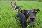 Barking doberman — Stock Photo