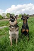 Tow dogs training outside — Stock Photo