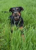 A barking doberman lying in the lawn — Stock Photo