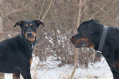 Un doberman jouant avec un rottweiler — Photo
