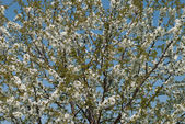 Blooming apricot tree — Stockfoto