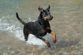 Doberman running through the water — Stock Photo