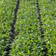 Full frame background of asparagus lettuce fields in spring time - Stock Photo