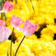 Beautiful tulips - Stock Photo