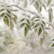 Stock Photo: Close up of frosted leaves