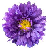 Fiore aster dopo la pioggia isolata — Foto Stock