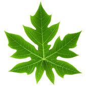 Papaya Leaf Isolated — Stock Photo