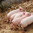 Piglets - Stock Photo