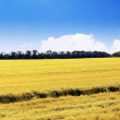 Field of rye and sunny day with cloudy sky. — Stock Photo