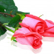Beautiful three pink roses . Isolated. — Stock Photo